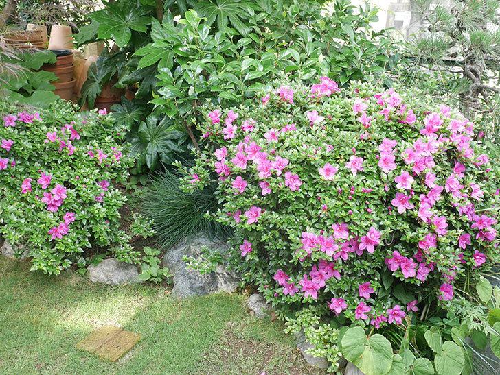 ピンクのサツキの花が咲いた。2021年-006.jpg