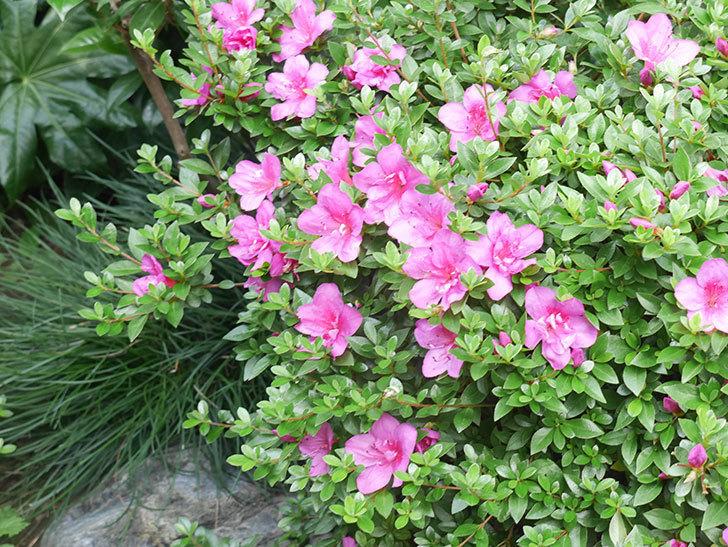 ピンクのサツキの花が咲いた。2021年-007.jpg