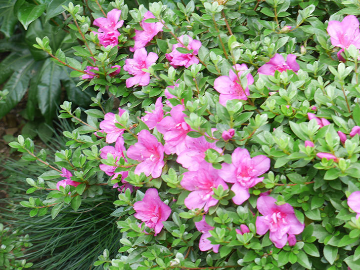 ピンクのサツキの花が咲いた。2021年-008.jpg