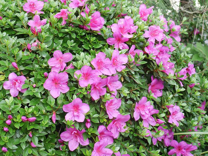 ピンクのサツキの花が咲いた。2021年-009.jpg