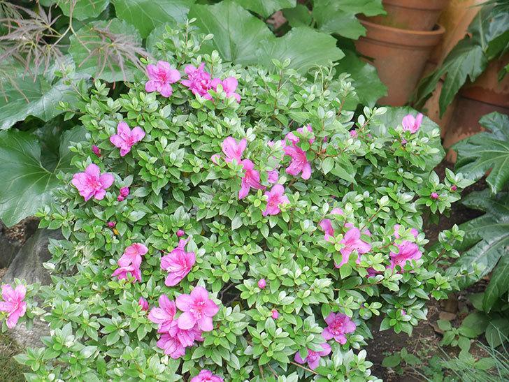 ピンクのサツキの花が咲いた。2021年-011.jpg