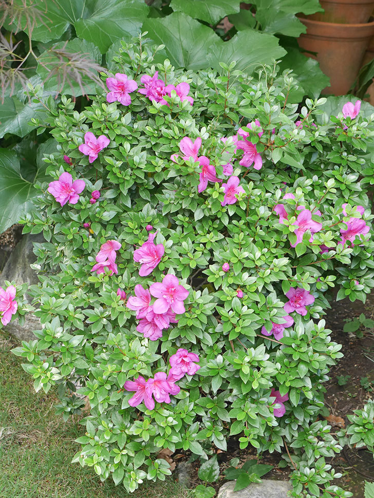 ピンクのサツキの花が咲いた。2021年-012.jpg