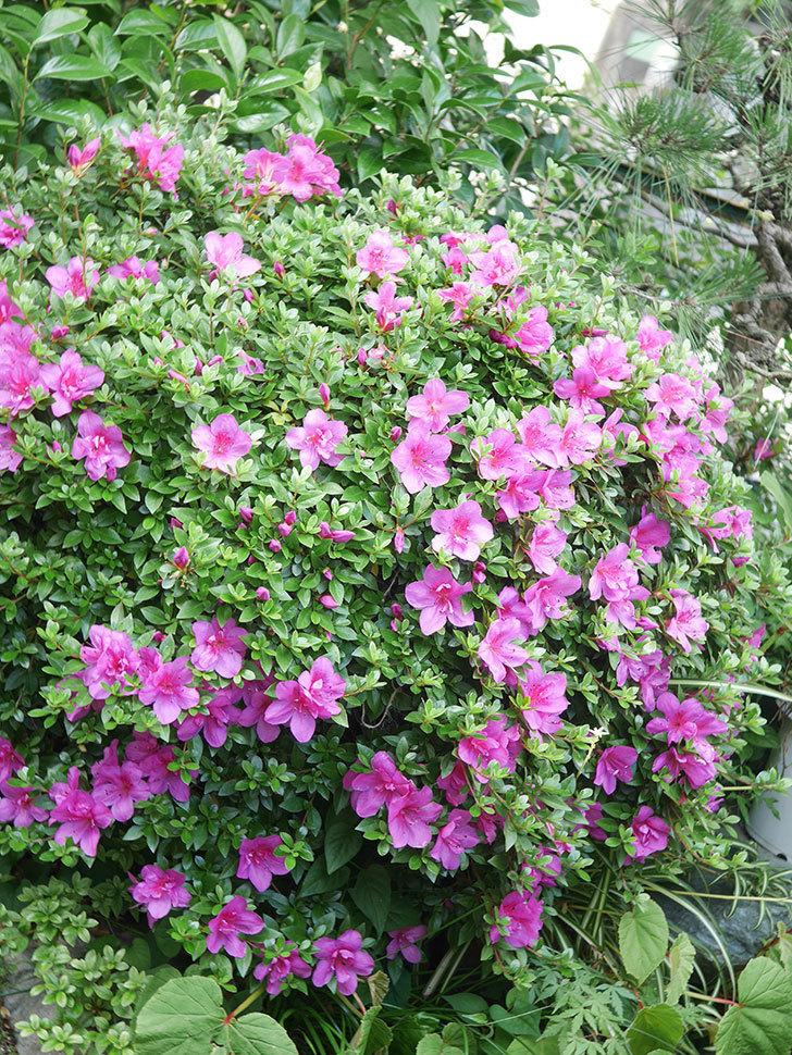ピンクのサツキの花が咲いた。2021年-014.jpg