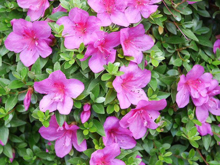 ピンクのサツキの花が咲いた。2021年-015.jpg