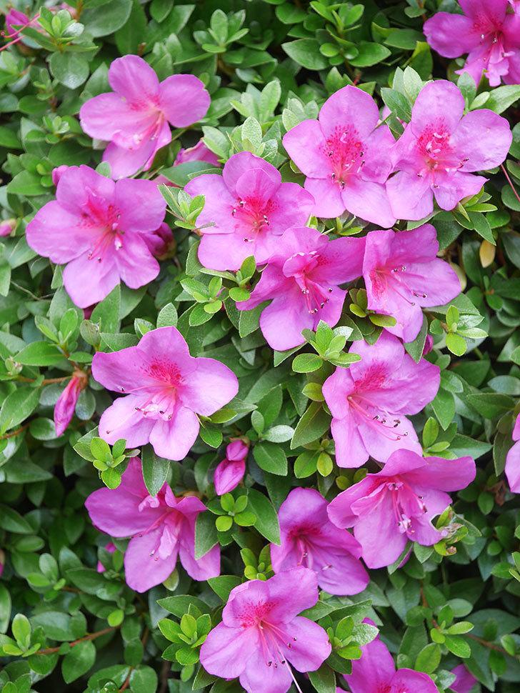 ピンクのサツキの花が咲いた。2021年-016.jpg