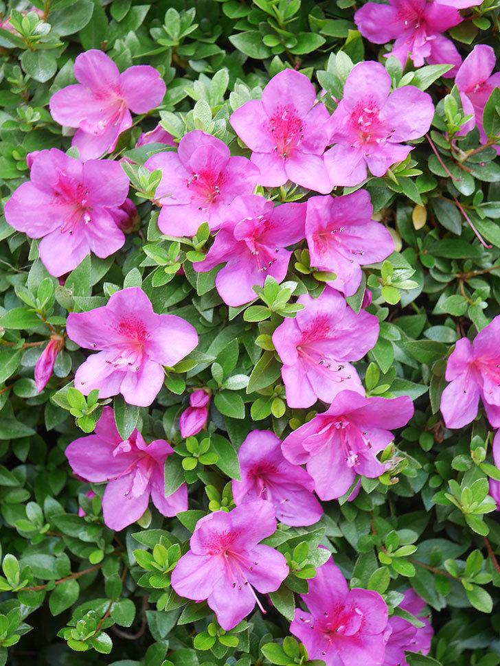 ピンクのサツキの花が咲いた。2021年-017.jpg
