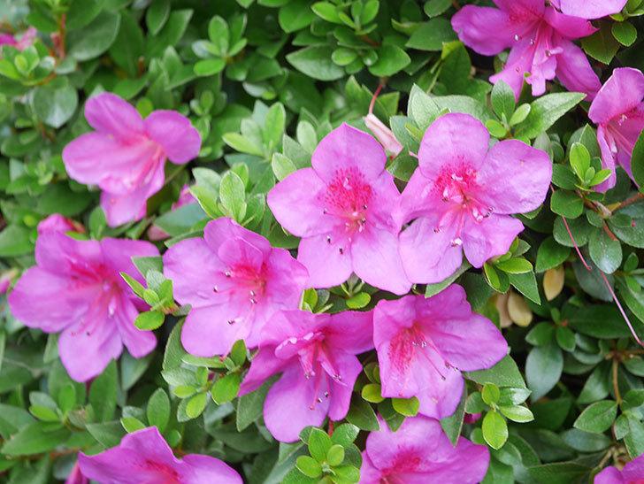 ピンクのサツキの花が咲いた。2021年-018.jpg
