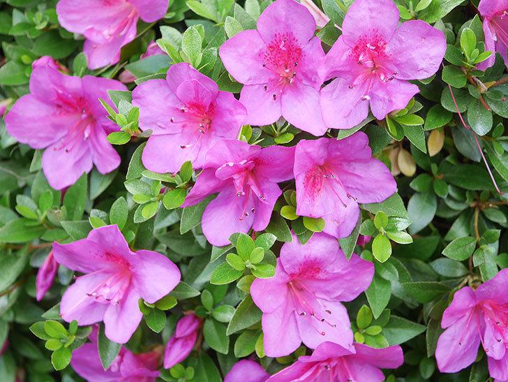 ピンクのサツキの花が咲いた。2021年-019.jpg
