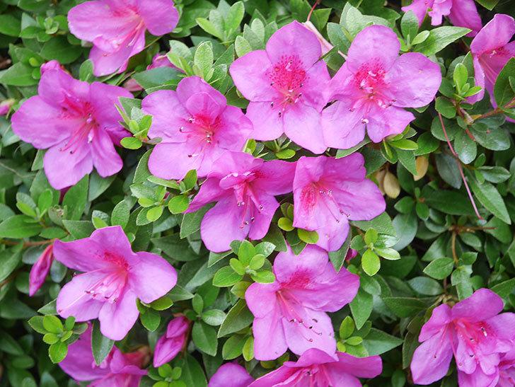 ピンクのサツキの花が咲いた。2021年-020.jpg