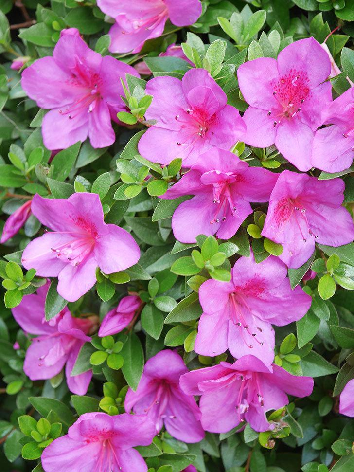 ピンクのサツキの花が咲いた。2021年-021.jpg