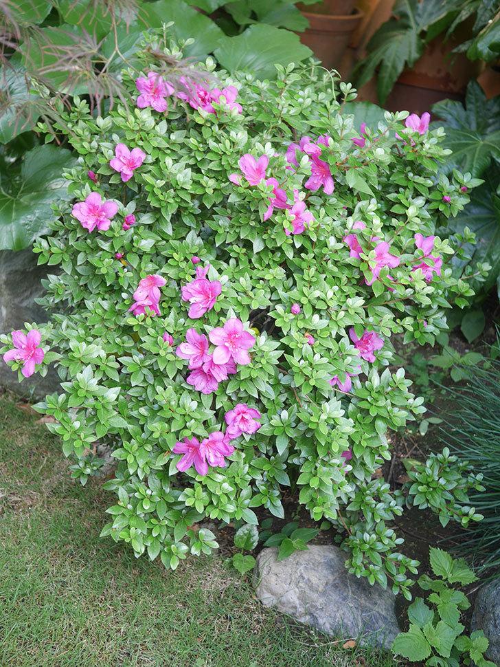 ピンクのサツキの花が咲いた。2021年-022.jpg