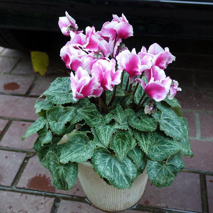 ピンクのシクラメンを一回り大きい鉢に植え替えた。2016年-1.jpg