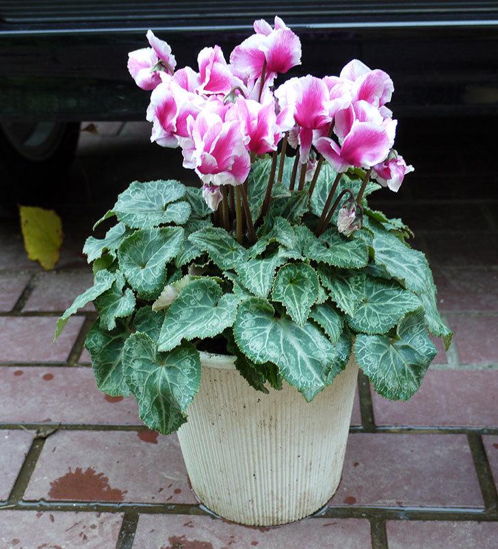ピンクのシクラメンを一回り大きい鉢に植え替えた。2016年-6.jpg