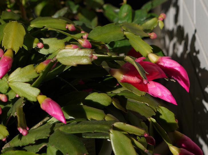 ピンクのシャコバサボテン(蝦蛄葉サボテン)が咲き始めた。2015年-1.jpg