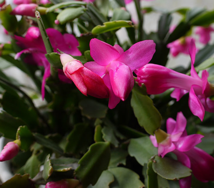 ピンクのシャコバサボテン(蝦蛄葉サボテン)が咲き始めた。2016年-1.jpg