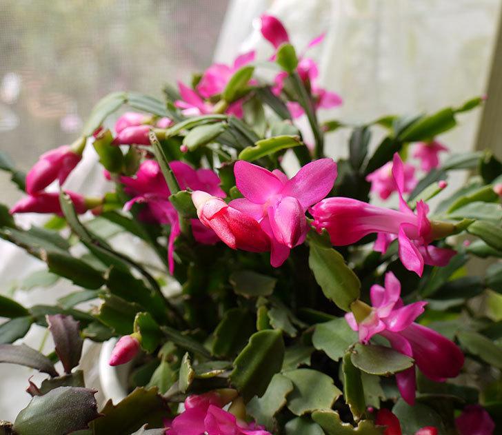 ピンクのシャコバサボテン(蝦蛄葉サボテン)が咲き始めた。2016年-4.jpg