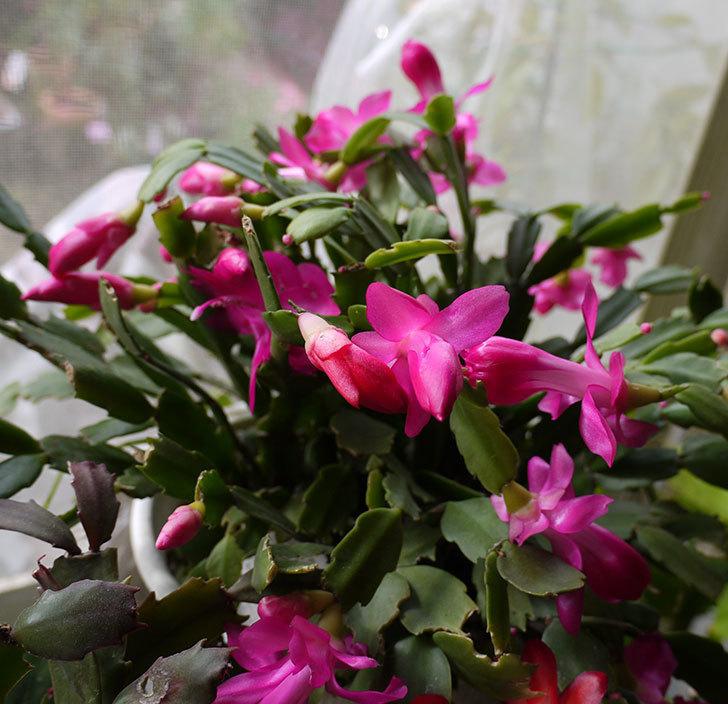 ピンクのシャコバサボテン(蝦蛄葉サボテン)が咲き始めた。2016年-5.jpg
