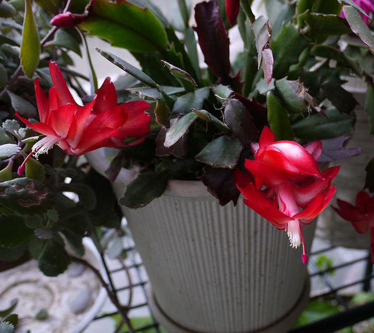 ピンクのシャコバサボテン(蝦蛄葉サボテン)が咲き始めた。2016年-8.jpg