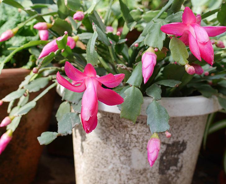 ピンクのシャコバサボテン(蝦蛄葉サボテン)が咲き始めた。2018年-1.jpg