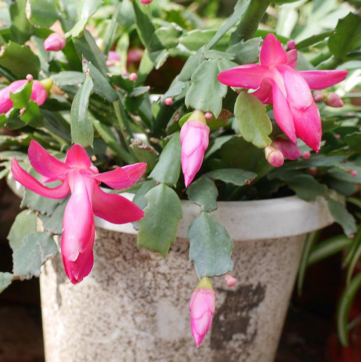 ピンクのシャコバサボテン(蝦蛄葉サボテン)が咲き始めた。2018年-2.jpg
