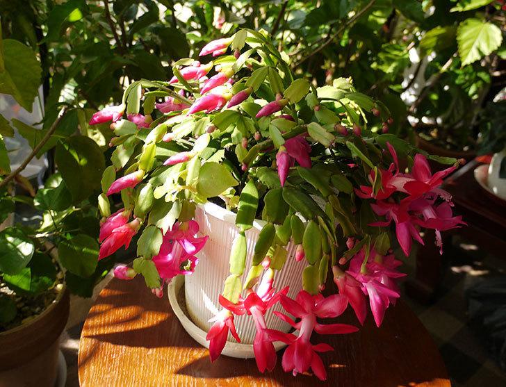 ピンクのシャコバサボテン(蝦蛄葉サボテン)が綺麗に咲いた。2015年-1.jpg