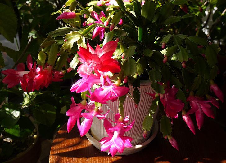 ピンクのシャコバサボテン(蝦蛄葉サボテン)が綺麗に咲いた。2015年-2.jpg
