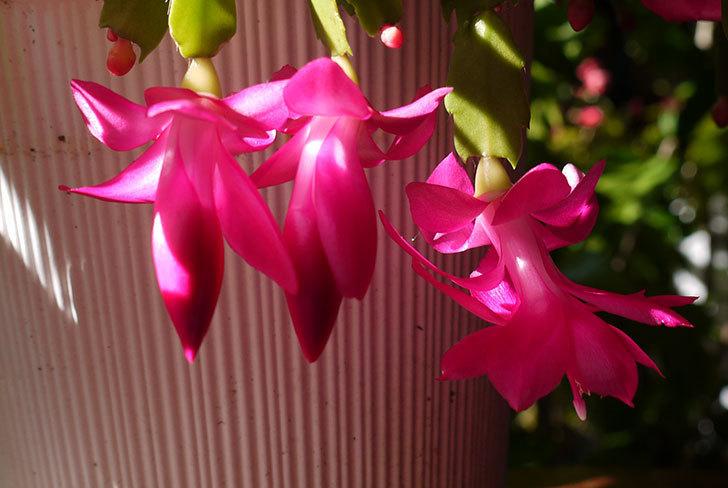 ピンクのシャコバサボテン(蝦蛄葉サボテン)が綺麗に咲いた。2015年-6.jpg