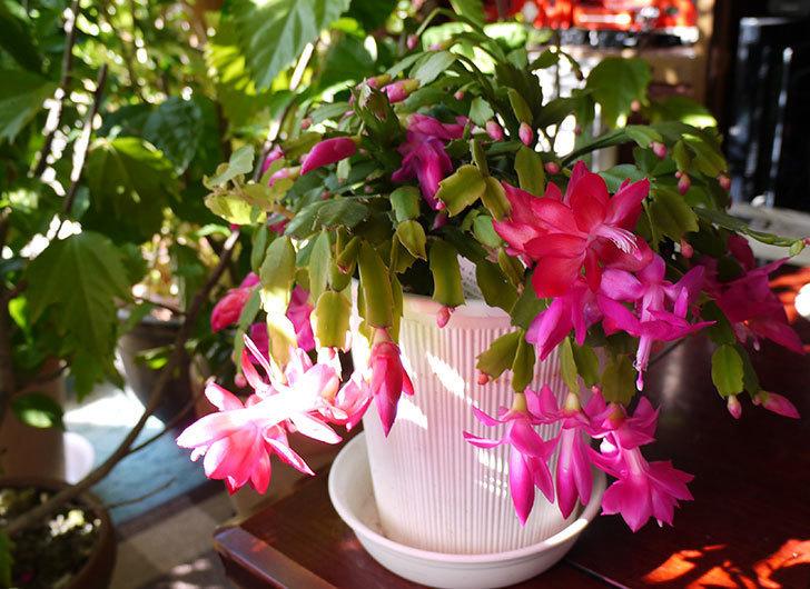 ピンクのシャコバサボテン(蝦蛄葉サボテン)が綺麗に咲いた。2015年-7.jpg