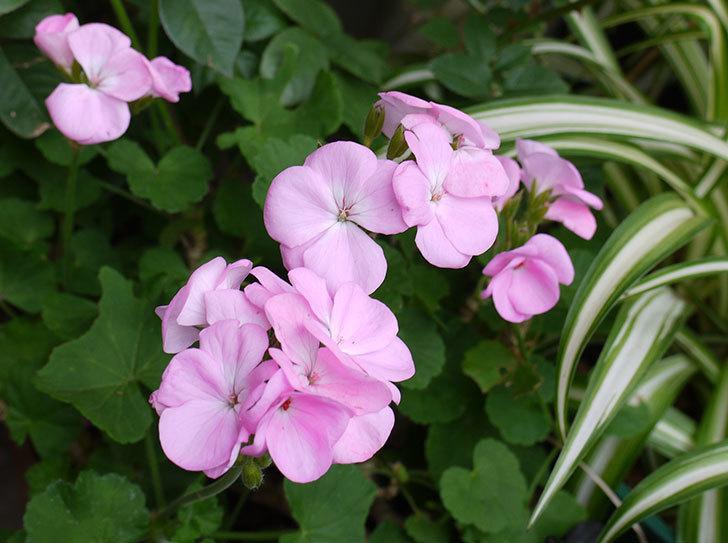 ピンクのゼラニウムの花が咲いた。2015年-1.jpg