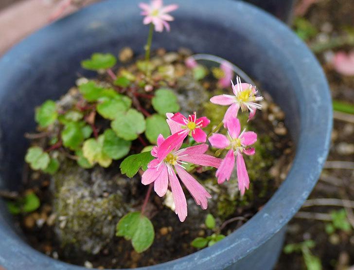 ピンクのダイモンジソウ(大文字草)の花が咲いた1.jpg