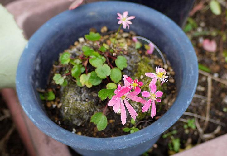 ピンクのダイモンジソウ(大文字草)の花が咲いた2.jpg