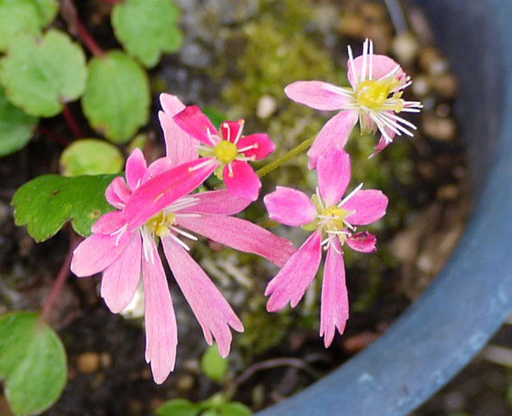 ピンクのダイモンジソウ(大文字草)の花が咲いた3.jpg