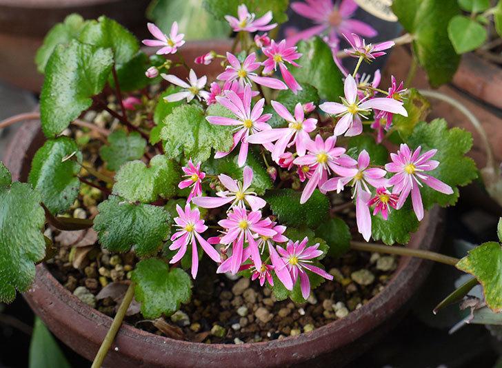ピンクのダイモンジソウ(大文字草)の花が咲いた。2015年-1.jpg