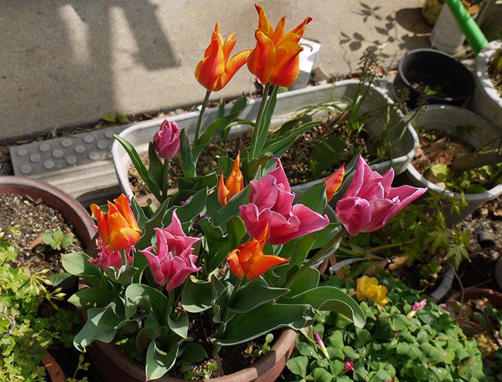 ピンクのチューリップが咲いた1.jpg