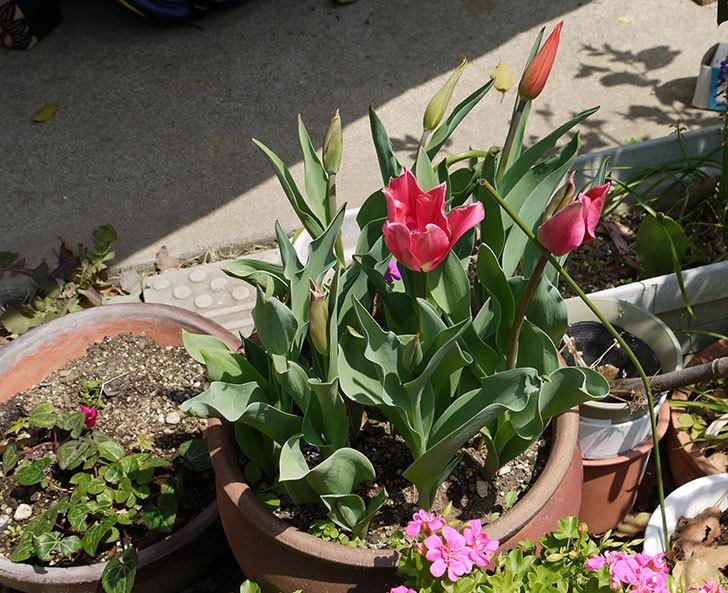 ピンクのチューリップが咲いた2.jpg