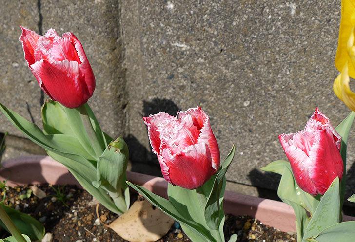 ピンクのチューリップが咲いた4.jpg