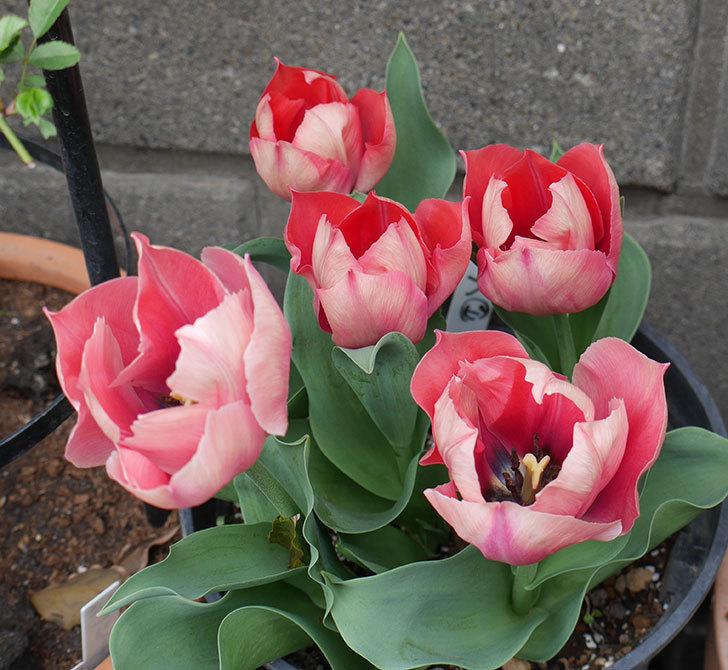 ピンクのチューリップの花がたくさん咲いた。2019年-10.jpg