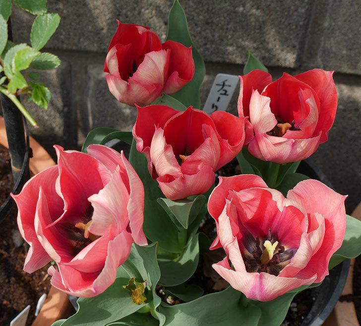 ピンクのチューリップの花がたくさん咲いた。2019年-2.jpg