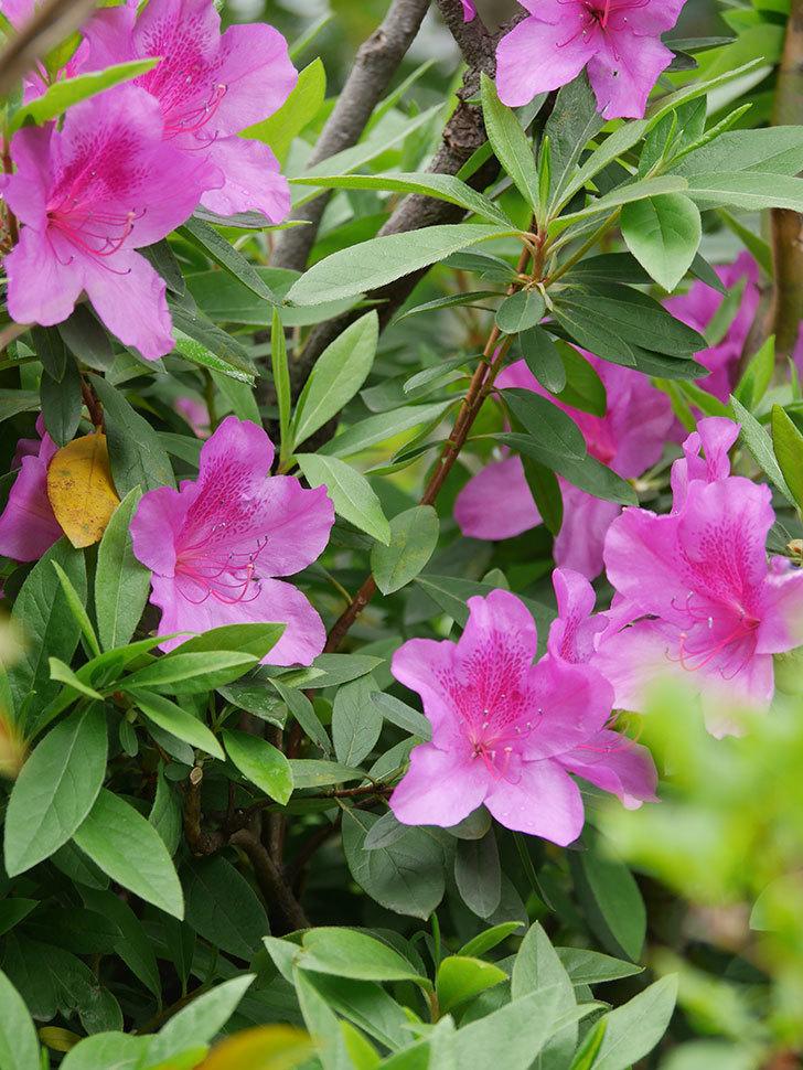 ピンクのツツジの花が咲いた。2021年-005.jpg