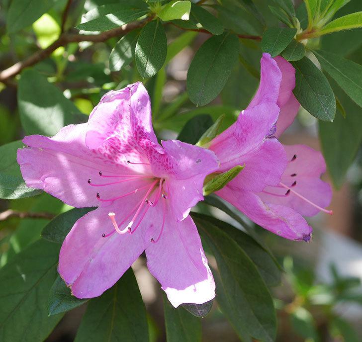 ピンクのツツジの花が咲きだした。2020年-2.jpg