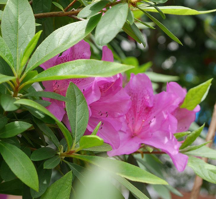 ピンクのツツジの花が増えて来た。2020年-4.jpg
