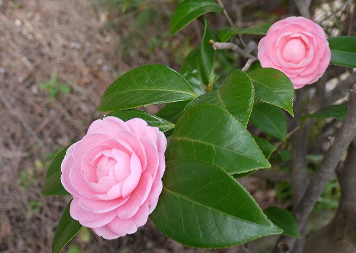 ピンクのツバキが咲いた1.jpg