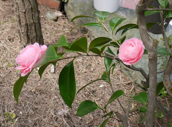 ピンクのツバキが咲いた3.jpg