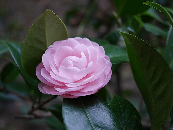 ピンクのツバキの花が咲いた。2020年-006.jpg