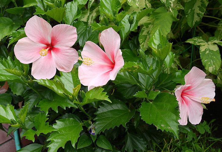 ピンクのハイビスカスが3個咲いた。2015年-1.jpg