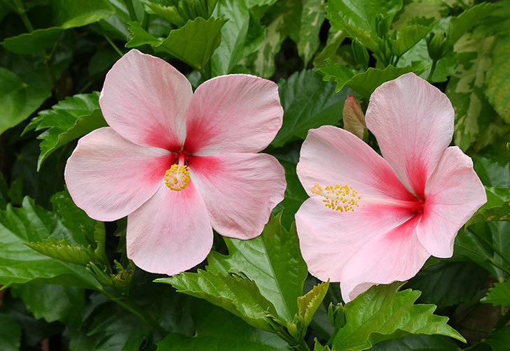 ピンクのハイビスカスが3個咲いた。2015年-2.jpg