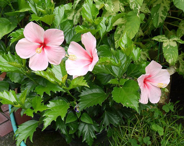 ピンクのハイビスカスが3個咲いた。2015年-4.jpg