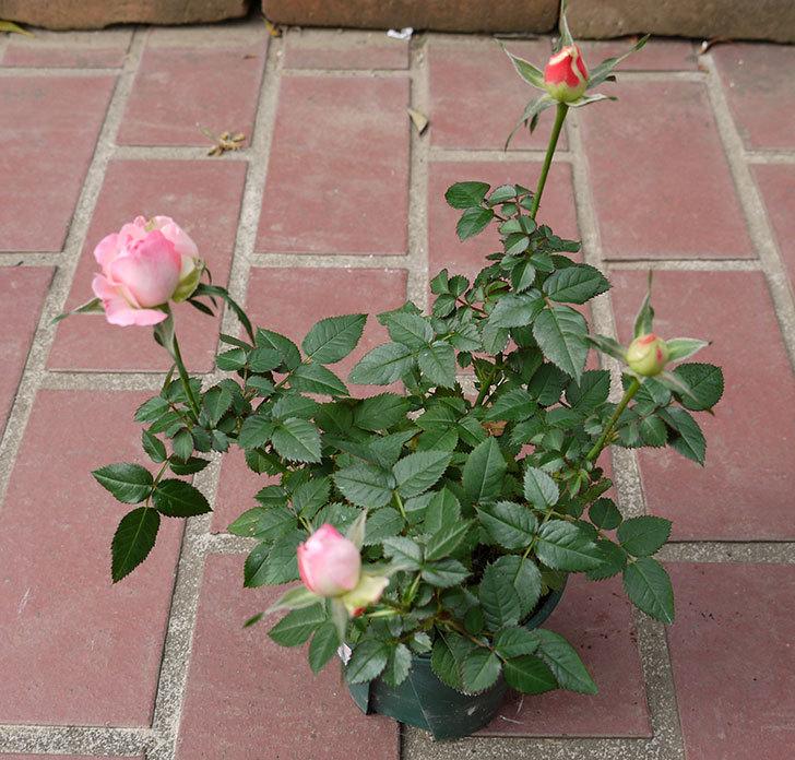 ピンクのバラをケイヨーデイツーで買ってきた2.jpg