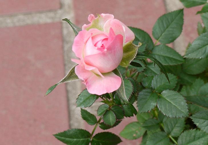 ピンクのバラをケイヨーデイツーで買ってきた3.jpg
