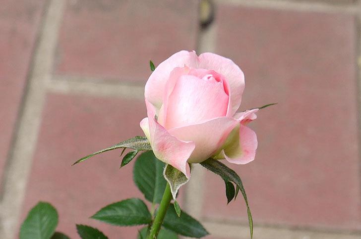 ピンクのバラをケイヨーデイツーで買ってきた6.jpg